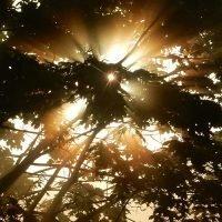Rising sun shining through leaves.