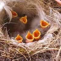 Baby chicks in nest - new life.