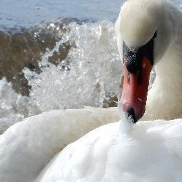 Swan at Lake Bolseno, Italy