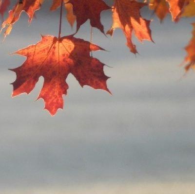 Maple leaf. Autumn in Ontario, Canada.