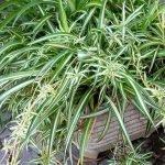 Spider plant - Deaths December 2019