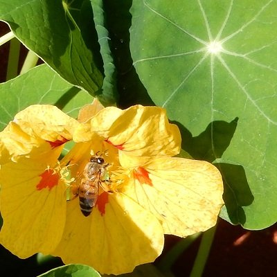 Bee in nasturtium flower
