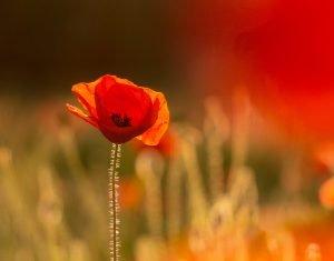dave-ellis-1YPovsJrUxs-unsplash Poppy